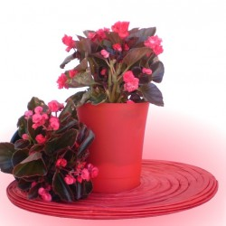 Piros teltvirágú begónia - Begonia Doublet Hot Root