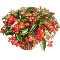 Begónia csüngő - Begonia Dragon Wing Rot