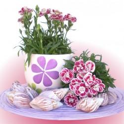 Cserepes szegfű - Dianthus Bicolor Purple