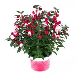 Bokros fukszia Piros-fehér színben - Fuchsia Summer Ball Red-White