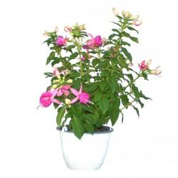 Bokros fukszia rózsaszín-lila színben - Fuchsia Summer Hot Pink-Lilac