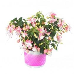 Bokros fukszia rózsaszín-fehér színben - Fuchsia Summer Hot Pink-White
