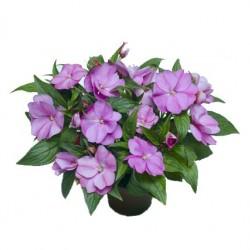 Nebáncsvirág, pistike - Impatiens New-Guinea Lilac