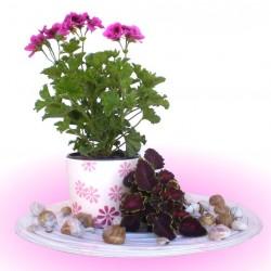 Angol muskátli - Pelargonium Grandiflorum Burghi