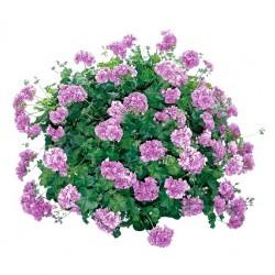 Félfutó muskátli lila - Pelargonium Ivy Ballon Lilac