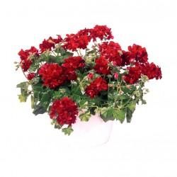 Félfutó muskátli bordó - Pelargonium Ivy Ballon Red