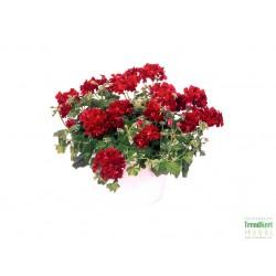 04201915 Félfutó muskátli bordó - Pelargonium Ivy Ballon Red
