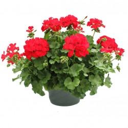 Félfutó muskátli piros - Pelargonium Ivy Ballon Root