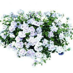 Félfutó muskátli fehér-pink - Pelargonium Ivy Ballon White Pinky