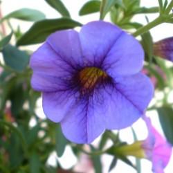 Mini petúnia kék - Calibrachoa Balkoni Blue
