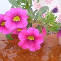 Mini petúnia pink - Calibrachoa Balkoni Bromberry