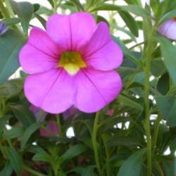 Mini petúnia rózsaszín - Calibrachoa Balkoni Rose