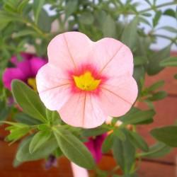 Mini petúnia pink - Calibrachoa Balkoni Soft Pink