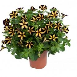 Bokros kompakt fekete-sárga petúnia - Petunia Compact Big Bee