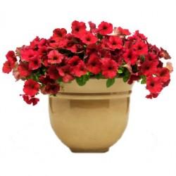 Bokros kompakt piros petúnia - Petunia compact Root