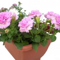 Petúnia rózsaszín teltvirágú - Petunia Surfinia Doublet Pink