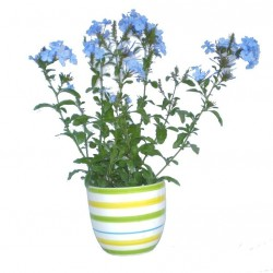 Kék ólomvirág - Plumbago auriculata Blue