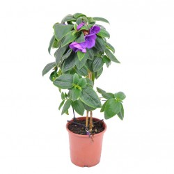 Ibolyafa, Hercegnővirág - Tibouchina urvilleana