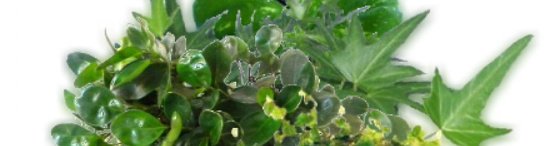 Kúszó-, futó növények