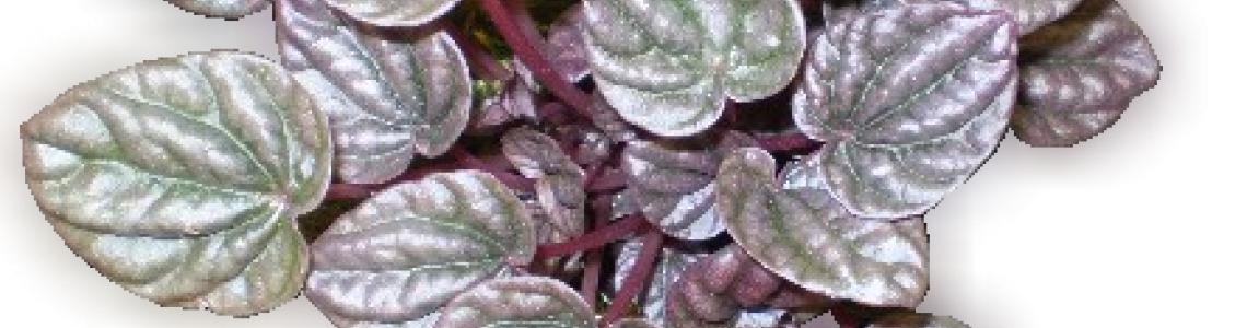 Peperomia fajok