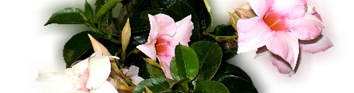 Virágzó fajok