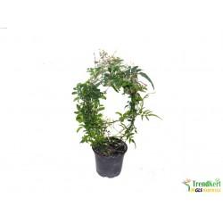 03/2019/13 Jasminum polyanthum - Illatos kúszó jázmin