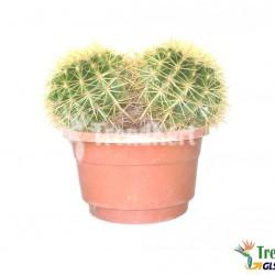 07/2018/30 Sün kaktusz - Echinocactus grusonii