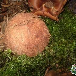 Ültethető száraz termés - kókuszdió fél