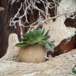 Ültethető száraz termés sp. 02