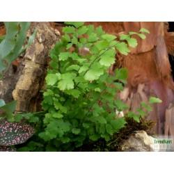 Vénuszhajpáfrány - Adiantum raddianum