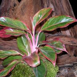 Rákvirág - Aglaonema commutatum S'Red
