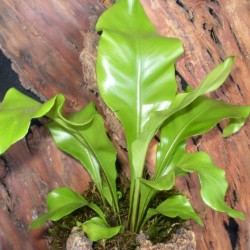 Madárfészekpáfrány - Asplenium nidus