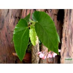 Begónia pöttyös - Begonia Albo-Picta Pink