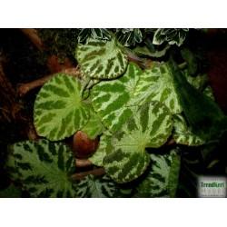 Begónia - Begonia imperialis