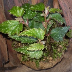 Begónia - Begonia Lois Burks