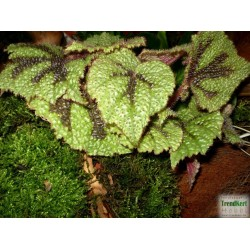 Begónia - Begonia masoniana