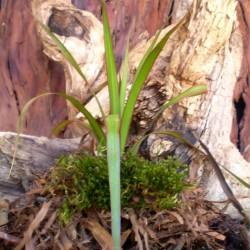 Dracéna, sárkányfa - Dracaena marginata
