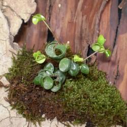 Fikusz raszta - Ficus benjamina Rasta