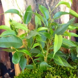 Fikusz törpe zöld levelű - Ficus compact Mini Green
