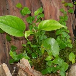 Fikusz, kapaszkodó - Ficus pumila Green