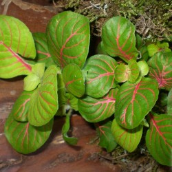 Hálóslevél, fittónia - Fittonia jade