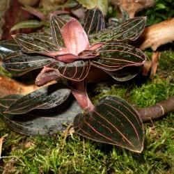 Bársony orchidea - Ludisia discolor
