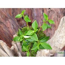 Törpebors - Peperomia greenny