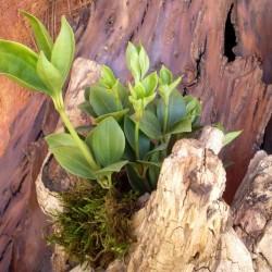 Törpebors - Peperomia magnoliifolia