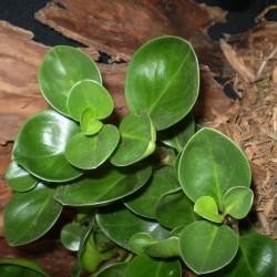 Törpebors - Peperomia obtusifolia Green