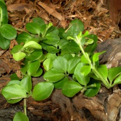 Törpebors, peperomia - Peperomia rotundifolia