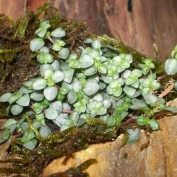 Pílea, tüzér virág - Pilea glauca