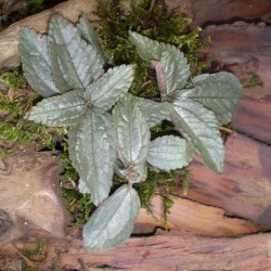 Pílea, tüzér virág - Pilea pubescens Liebmanni Silver Cloud