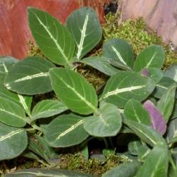 Trópusi tölcsérvirág - Ruellia makoyana
