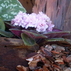 Mini Afrikai ibolya - Saintpaulia ionantha Mini Rose
